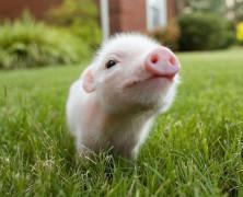 El falso porcino